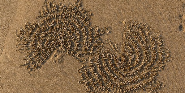 sand bubbler crab cover