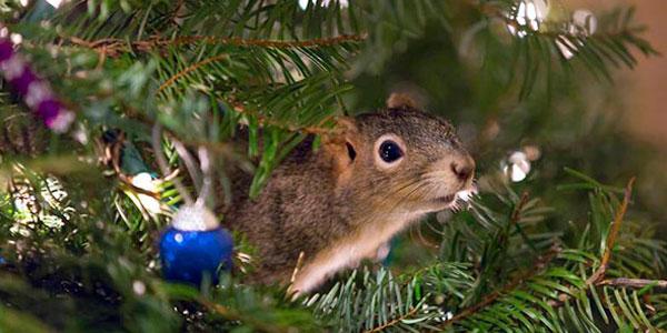 scoiattolo albero natale co