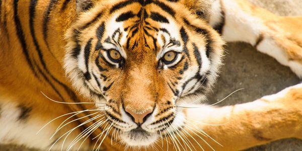 tigri popoli indigeni
