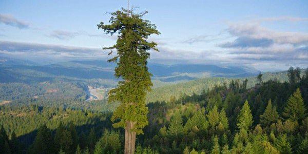 Hyperion tallest tree 600x450