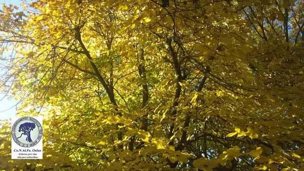 alberi 10 tiglio