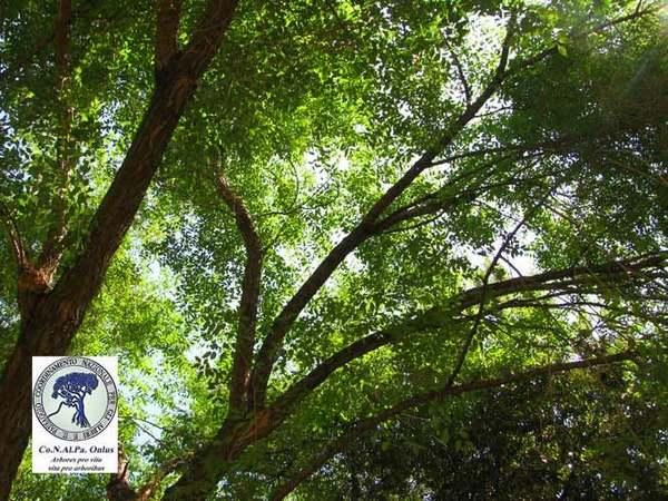 alberi 2 olmo comune