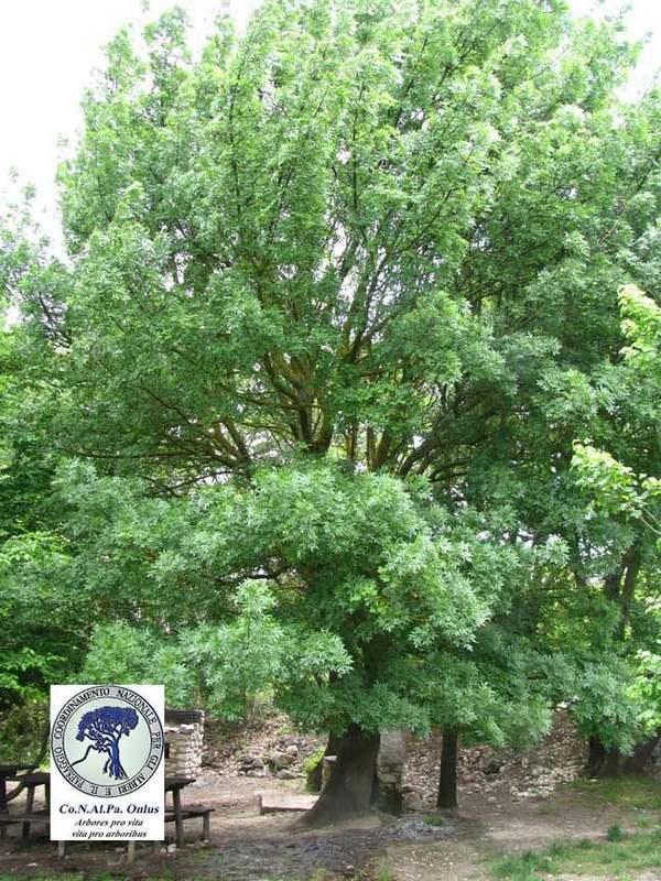 alberi 4 frassino maggiore