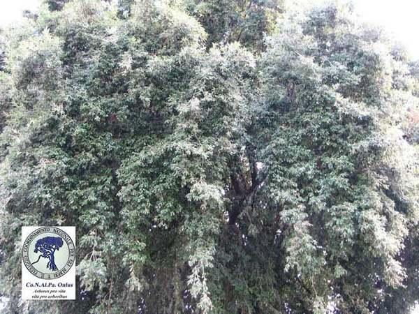 alberi 5 leccio
