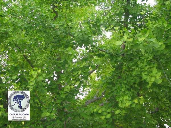 alberi 6 gingko