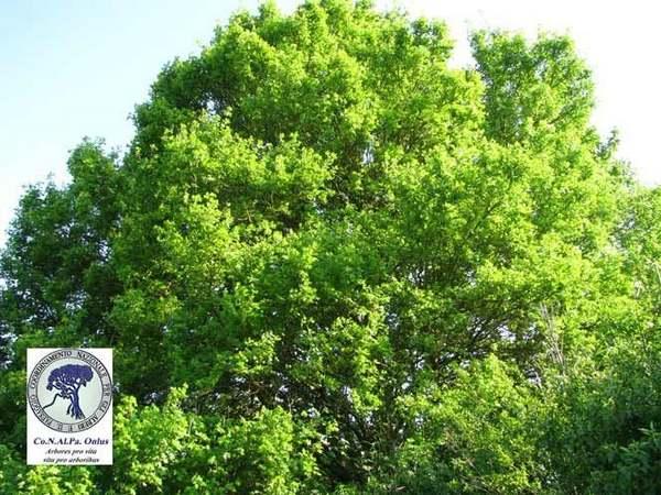 alberi 7 acero campestre