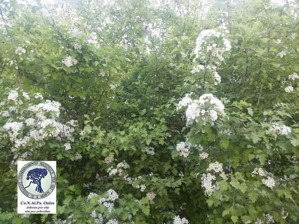 alberi 8 biancospino