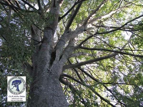 alberi 9 bagolaro