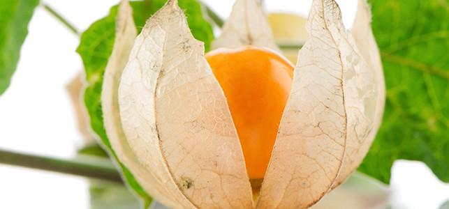 ashwaganda fruit