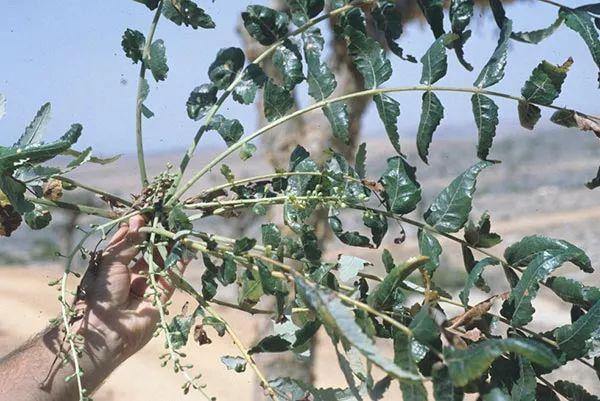 boswellia incenso