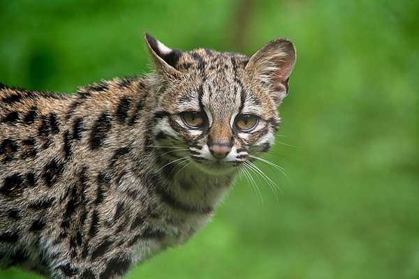 gatto margay