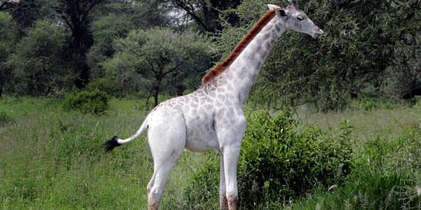 giraffa bianca 1