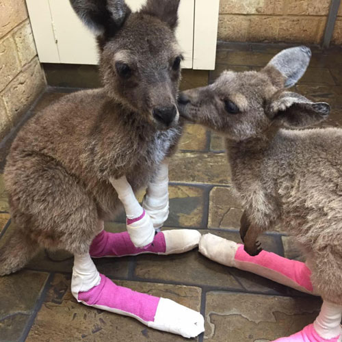 incendio animali australia6