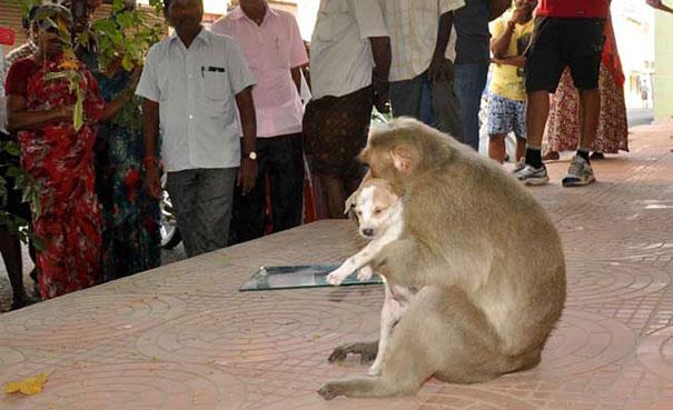 scimmia mamma7