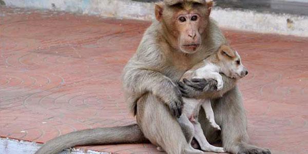 scimmia mamma cover