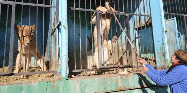 tigri sbarre armenia