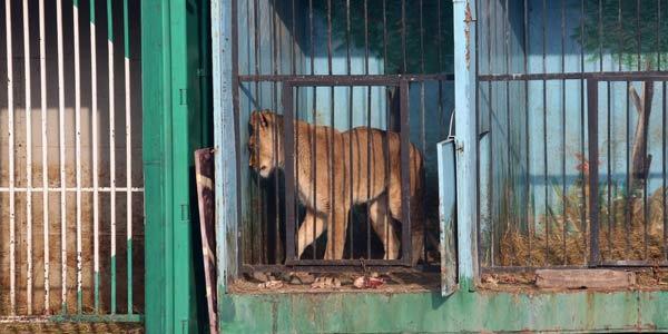 tigri testa 2 armenia