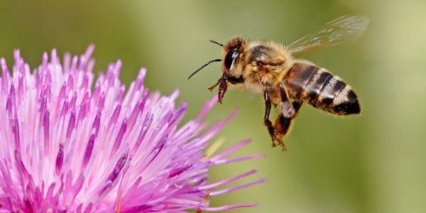 api virus parassita varroa