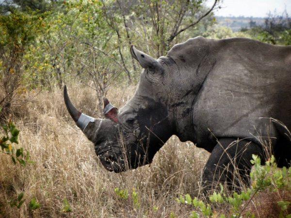 corna rinoceronti