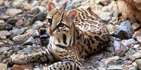 oceolot gattopardo americano