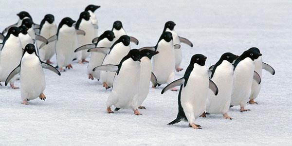 pinguini isberg