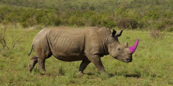rinoceronti colorati