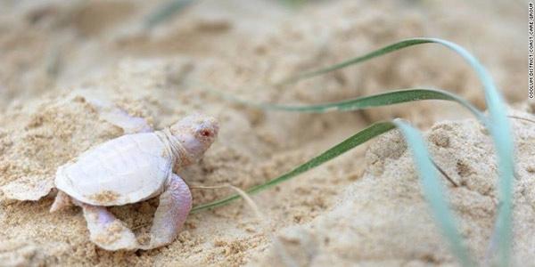 tartaruga albina 1