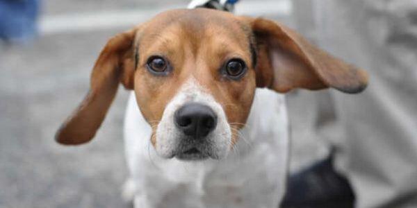 beagle test canada