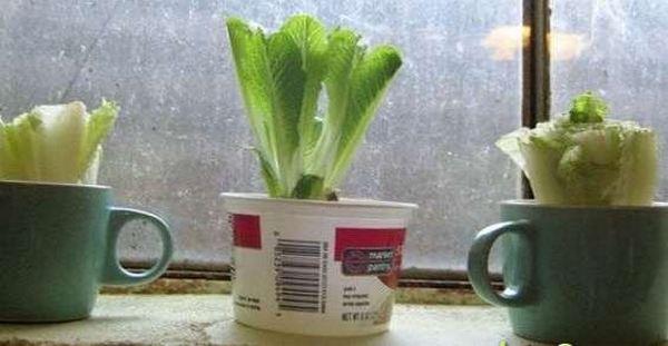 coltivare lattuga
