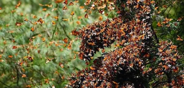 farfalla monarca2