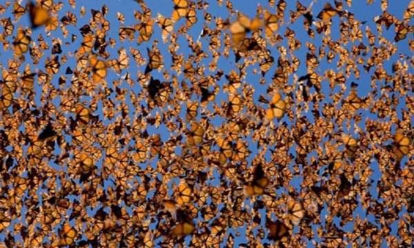 farfalla monarca3