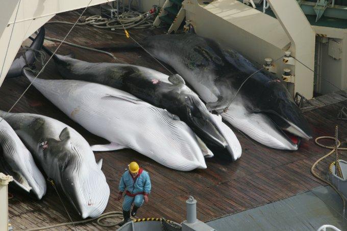 giappone balene antartico