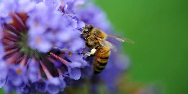 moria delle api pesticidi europa