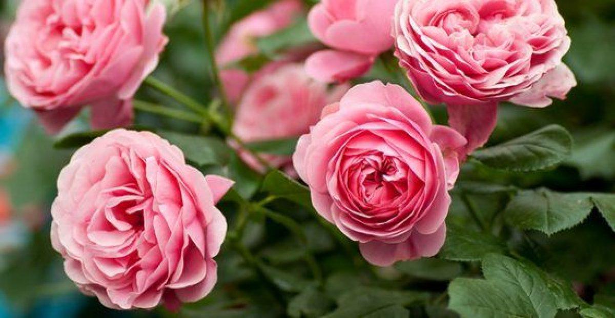Nomi Di Fiori Rosa.10 Piante Che Fioriscono In Primavera Greenme It