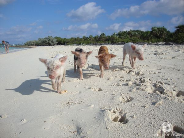 pig island 3