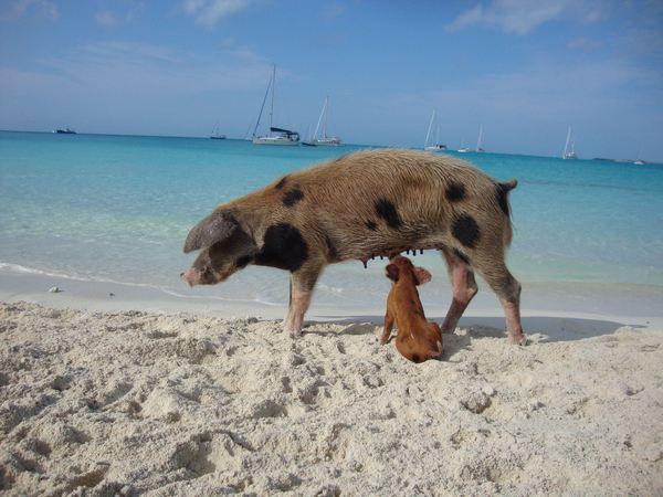 pig island 4