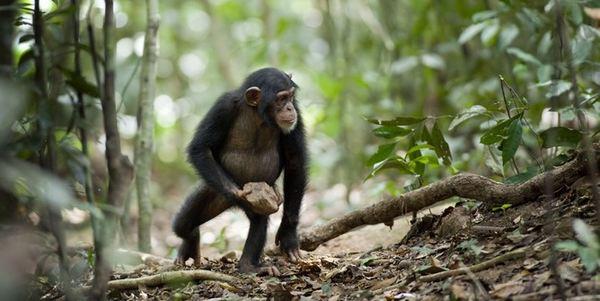scimpanze alberi sassi religione