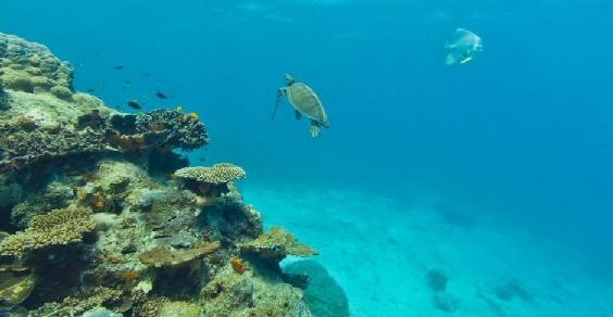 Barr corallo
