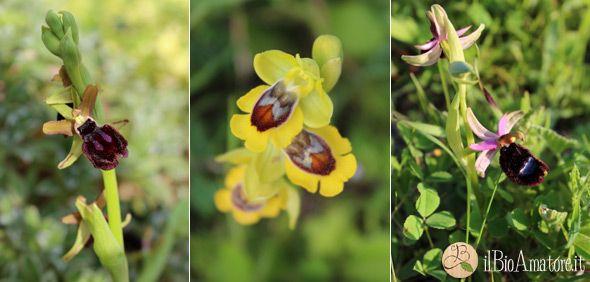 orchidee_spontanee_ophrys