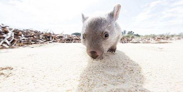 wombat derek
