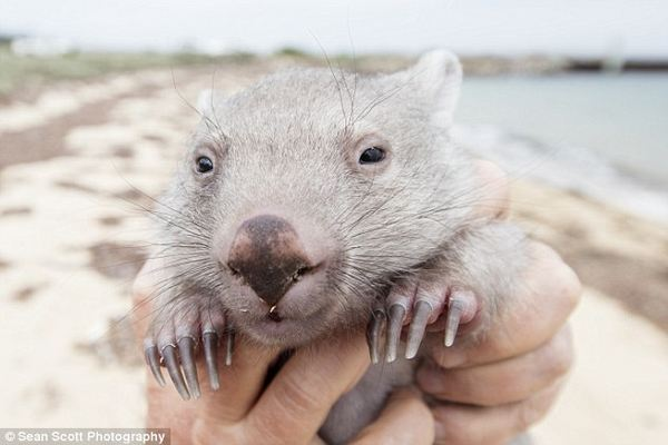 wombat derek 2