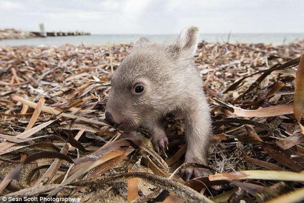 wombat derek 3