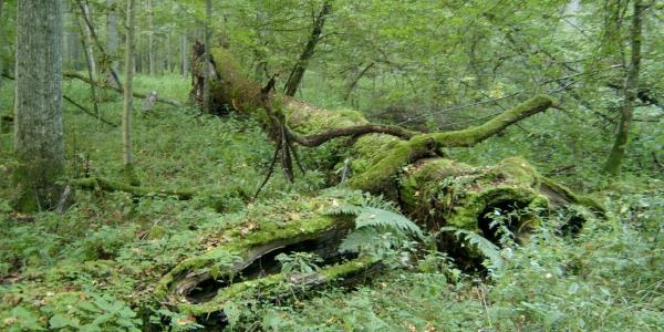bialowieza-forest-