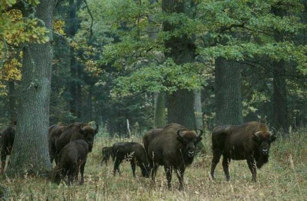 bialowieza wild bison