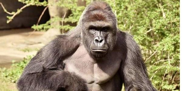gorilla ucciso zoo