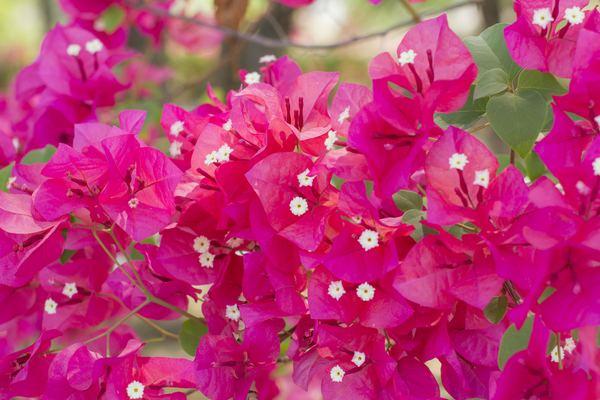 buganvillee fiori