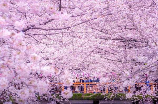 fioritura ciliegi giappone2