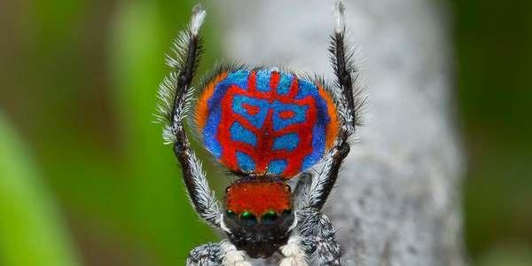 ragno pavone