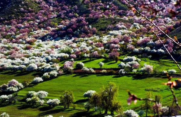 valle albicocche cina1