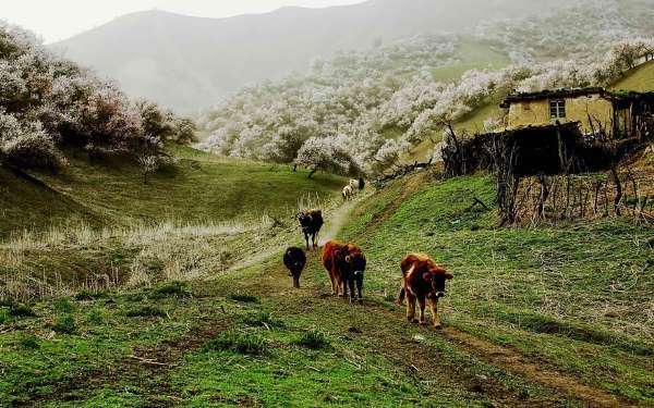 valle albicocche cina4